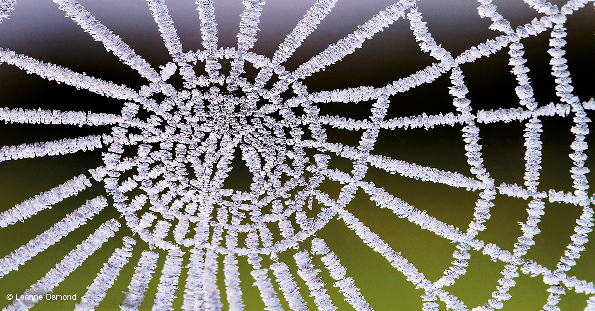 Spiderweb encrusted in white frost with a green background.